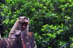 Affe des langen Schwanzes allein ist Gegähne Stockbild