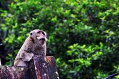 Affe des langen Schwanzes allein ist verwirrt Stockfoto