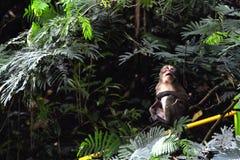 Affe des langen Schwanzes allein, nach etwas suchend Lizenzfreies Stockfoto