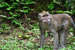 Affe des langen Schwanzes allein war bereit anzugreifen Lizenzfreies Stockbild