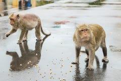 Affe des Makakens zwei, der auf Maissamen kaut lizenzfreie stockfotos