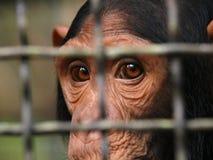 Affe des menschlichen Auges eingeschlossen in einem Käfig Lizenzfreie Stockfotos