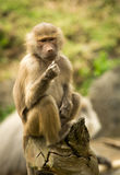 Affe doesn ` t mögen sein Lebensmittel Lizenzfreie Stockfotografie