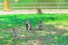 Affe drei sitzen und Stand auf dem Gras mit Kopienraum addieren Text Stockbilder