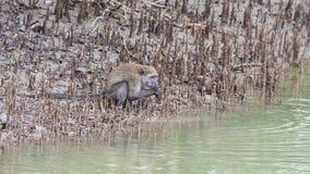 Affe durch das Wasser Lizenzfreie Stockfotografie