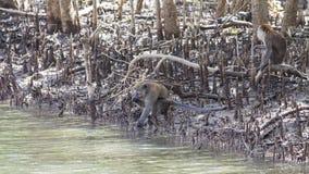 Affe durch das Wasser Stockbild