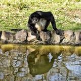 Affe durch das Wasser, essend Lizenzfreie Stockbilder
