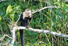 Affe in einem Baum Lizenzfreies Stockfoto