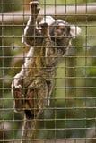 Affe in einem Gefängnis Stockfoto