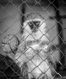 Affe in einem Käfig Lizenzfreies Stockbild