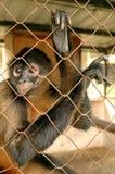 Affe in einem Käfig, Doppelpunkt Panama Stockbild