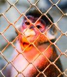 Affe in einem Käfig in einem Zoo Lizenzfreie Stockfotos