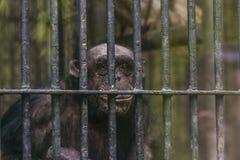 Affe in einem Käfig am Zoo Stockbild