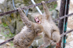 Affe in einem natürlichen onsen (heiße Quelle) Stockfotos