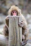 Affe in einem natürlichen onsen (heiße Quelle) Stockbilder