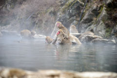 Affe in einem natürlichen onsen (heiße Quelle) Stockfotografie