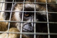 Affe an einem russischen Zoo Lizenzfreie Stockfotografie