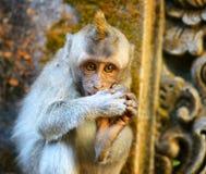 Affe in einem Steintempel. Bali-Insel, Indonesien Stockbilder