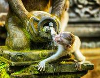 Affe in einem Steintempel. Bali-Insel, Indonesien Lizenzfreie Stockfotografie