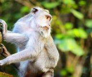 Affe in einem Steintempel. Bali-Insel, Indonesien Lizenzfreies Stockfoto