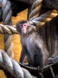 Affe in einer Hängematte Lizenzfreies Stockbild