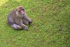 Affe in einer Reinigung Stockbild