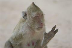 Affe erklärt etwas Stockfoto