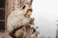 Affe essen Stockbild