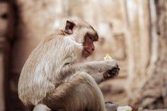 Affe essen Stockfotografie