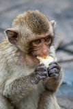 Affe essen Banane bei Pra Prang Samyod, Lopburi Thailand Lizenzfreie Stockfotografie