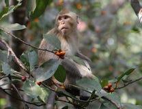 Affe essen Lebensmittel auf Baum in Thailand Stockfoto