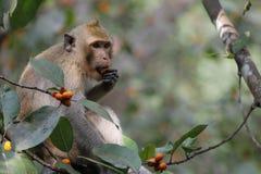 Affe essen Lebensmittel auf Baum in Thailand Stockbild