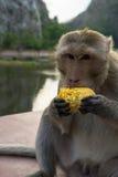 Affe essen Mais Stockbild