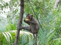 Affe essen Mais Thailand lizenzfreie stockfotos