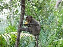 Affe essen Mais Thailand stockfotografie