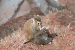 Affe essen Reis aus den Grund in Phuket Thailand Lizenzfreie Stockfotos