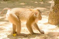 Affe essen Reissamen Stockbild