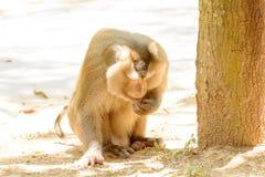 Affe essen Reissamen Stockbilder