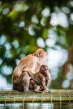 Affe-Familie Stockbild