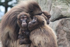 Affe-Familie Lizenzfreies Stockbild