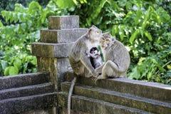 Affe-Familie in Bali Lizenzfreies Stockbild