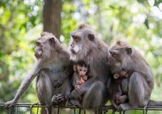 Affe-Familie in Ubud, Indonesien Lizenzfreies Stockbild