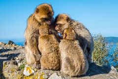 Affe-Familien-Rat Lizenzfreie Stockfotos