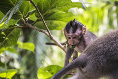 Affe Forest Baby Balis Indonesien Ubud Stockfoto
