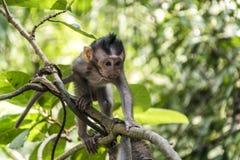 Affe-Forest Baby-Klettern Balis Indonesien Ubud Lizenzfreies Stockfoto