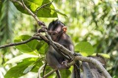 Affe-Forest Baby-Klettern Balis Indonesien Ubud Stockbilder