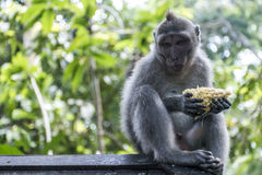Affe-Forest Eating-Affe Balis Indonesien Ubud Stockbild