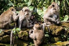 Affe Forest Family Balis Indonesien Ubud Lizenzfreies Stockbild