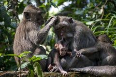Affe Forest Family 2 Balis Indonesien Ubud Lizenzfreies Stockfoto