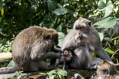Affe Forest Family Balis Indonesien Ubud Stockfotografie